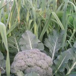 Broccoli and other Brassica