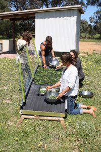 Solar Dried Kale Chips