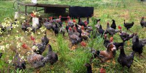 Chickens at southampton Homestead