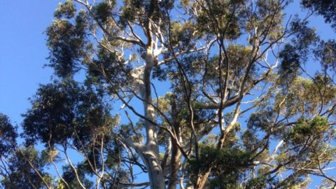 Mature Eucalyptus and Acacia in a Permaculture system
